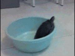 Черепаха под тазиком