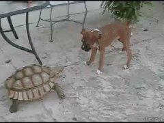 Черепаха против собаки