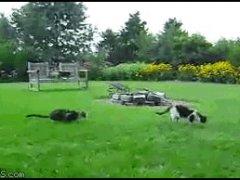 Кошка пугает другую
