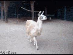 Заносчивая лама