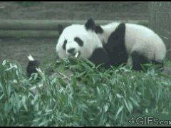 Бросок панды