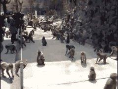 Безумная стая обезьян