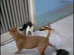 Одна кошка защитилась от двух собак