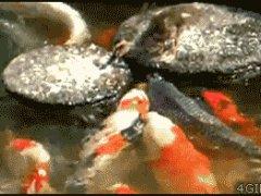 Утёнок кормит золотых рыбок