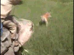 Тигр нападает на человека