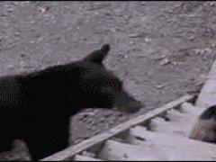 Кошка на побоялась медведя