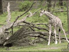 Павлин напугал маленького жирафа