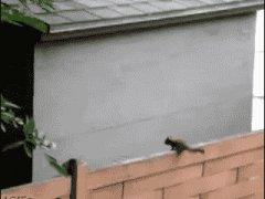Белка не расчитала прыжок
