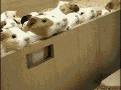 Стадо морских свинок