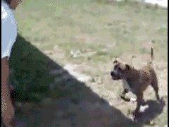 Собака делает сальто