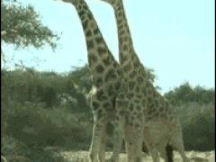 Бой жирафов