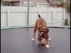 Собака на батуте