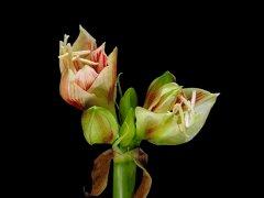 Распускающиеся белые цветы