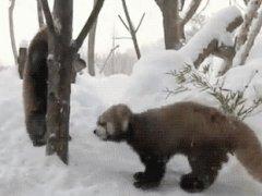 Три красные панды