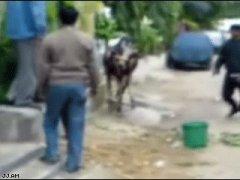 Корова защищается