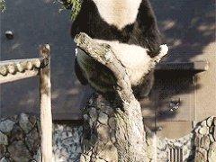 Панда падает с дерева