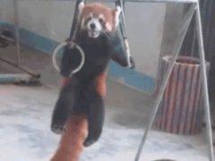 Красная панда на кольцах
