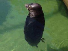Тюлень в медитации