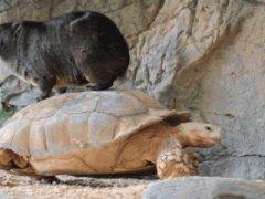 Тушканчик на черепахе