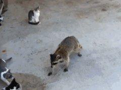 Енот ворует еду у кошек