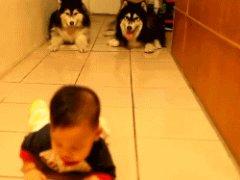 Собаки повторяют ползающего младенца