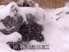 Панда смешно падает в снег