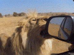 Лев ломает зеркало