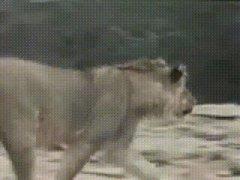 Встреча со львом после разлуки