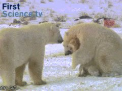 Медвежьи ласки