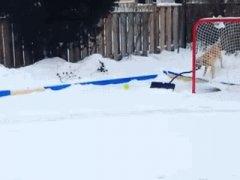 Собака помогает с уборкой снега